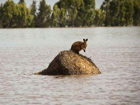 kangaroo.flood