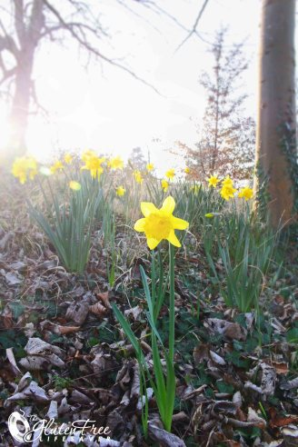 daffodils in Stratford upon Avon - Spring food: Gl;uten-Free Pasta Salad with Yoghurt and Tuna